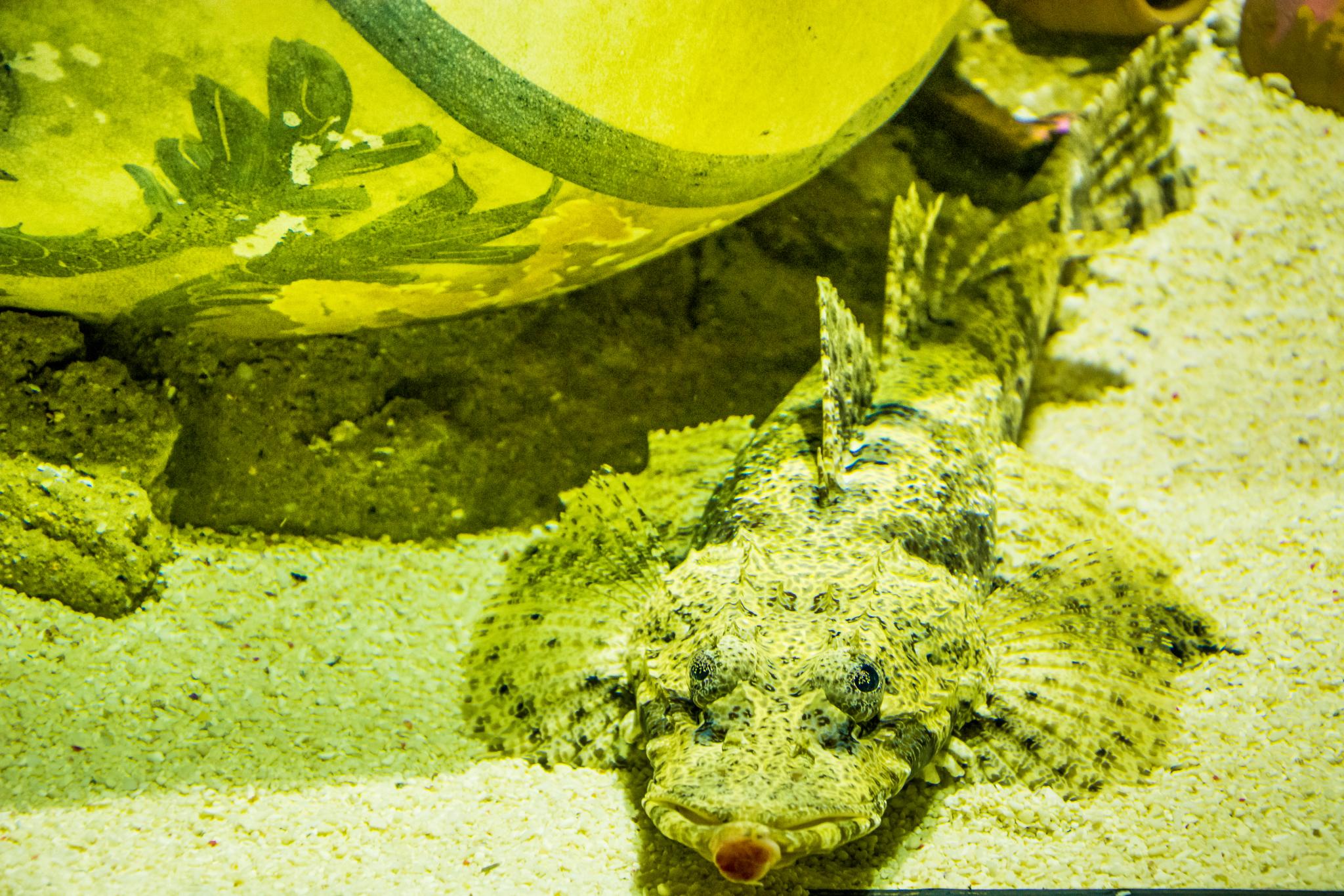 Stonefish.jpg